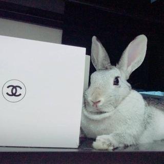 ミニウサギ。2歳