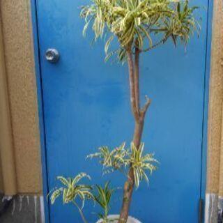 160cm 観葉植物