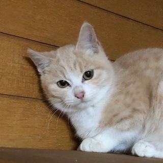 美猫のマオちゃん、里親さん募集です。