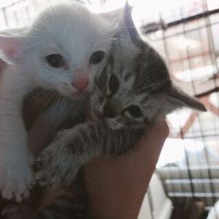 子猫(2ヶ月くらい) 里親募集