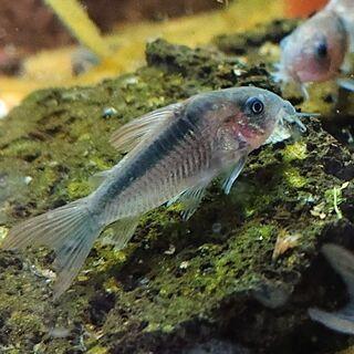 コリドラス・ラバウティ (熱帯魚アクアリウム)