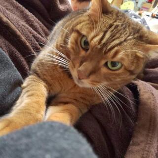 ベンガル 猫 男の子