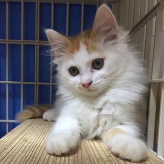茶白子猫メス