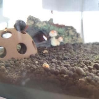 レッドラムズホーン 稚貝