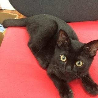 人懐っこい黒猫の子猫ちゃん^_^ - うるま市