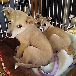 臆病な姉妹子犬(生後3カ月弱)ですが、素直ないい子たちです!!