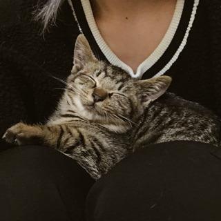 里親様決まりました。元気で懐っこいキジトラの子猫です