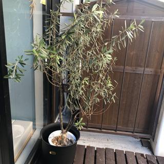 オリーブの木 140cm