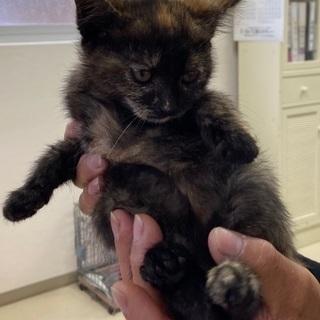 生後2ヶ月くらいの子猫•女の子 里親さん募集