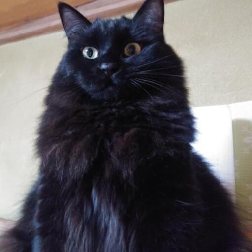 長毛ふわふわ黒猫瞳ちゃん1歳 (あゆ) 松戸の猫の里親募集