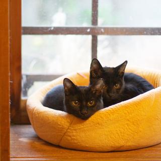推定8ヶ月齢・元気いっぱい黒猫兄弟