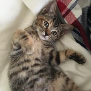 3ヶ月くらいのメスの子猫。里親さん募集します。