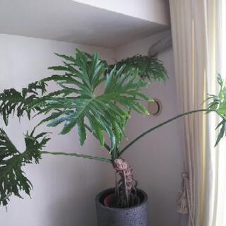 セローム 幹上がり 7号 大型観葉植物