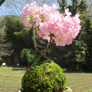 東急ハンズ池袋店で 桜の苔玉 ワークショップ開催。
