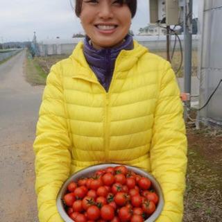 ハウス内 ナス、ミニトマト収穫、袋詰め作業