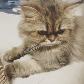 チンチラゴールド - 猫
