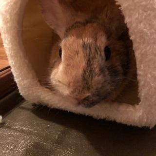ミニウサギの里親さん募集します。