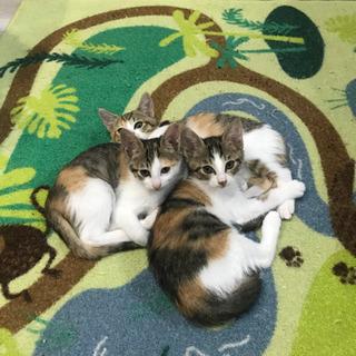 生後2ヶ月半の三毛三姉妹
