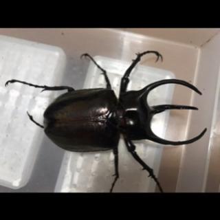 アトラスオオカブト幼虫 ミンダナオ産 2令虫〜 1匹300円