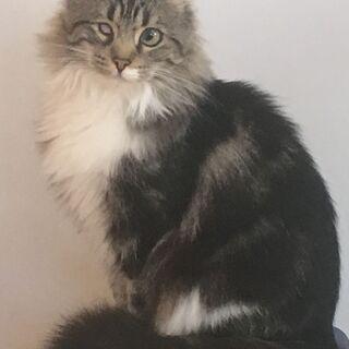 アメリカンカール・人懐っこい♪長毛の猫♪