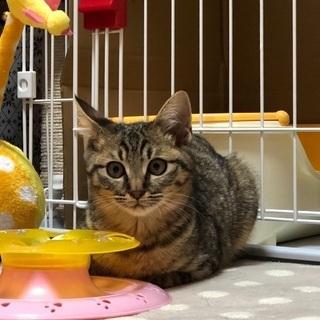 控えめなキジ猫メス(1/19  譲渡会  )