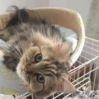 チンチラ・大人しくやさしい♪長毛の猫♪