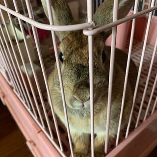 ミニ ウサギさん