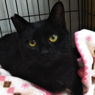 トライアル決定しました。なれなれ黒猫マサシくん、1才くらい