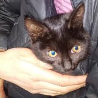 黒猫(メス・子猫)里親募集