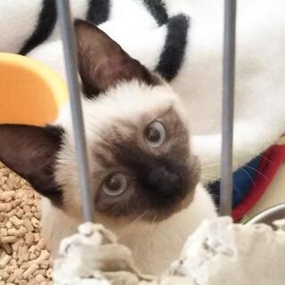 子猫の里親さん募集‼️残り2匹、白ちゃんとシャムちゃんの里親さん...