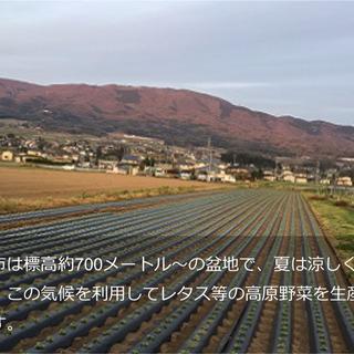 高原野菜の生産、収穫スタッフ募集 ※未経験者歓迎・経験者優遇