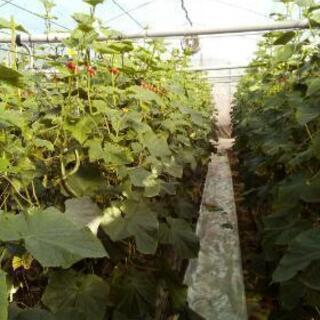 【短時間可】きゅうり収穫、手入れ作業
