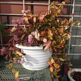ポット植え観葉植物