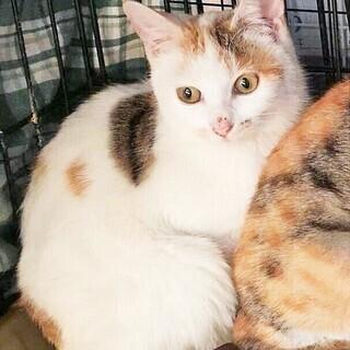 美猫 三毛猫3姉妹 4-5か月 (白三毛)