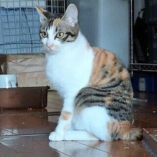 美猫 3姉妹 4-5か月 (顔:黒縞柄)