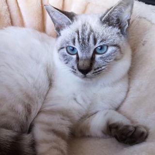 ナデナデ大好きシャム猫mixの白樺くん