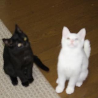 子猫の里親になってください。真っ黒のオス、オッドアイの白のオスと...
