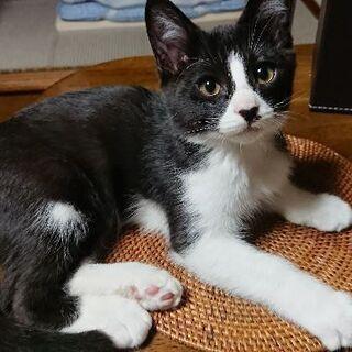 10月9日産まれ 白黒のハチワレ猫ちゃんと黒ぶちちゃんの画像