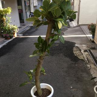 観葉植物 アルティシーマ