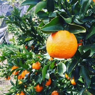 柑橘王国愛媛といえば ポンカン狩り 2kgお土産付き 10組限定