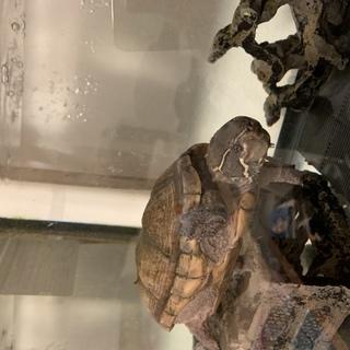 (亀)ミシシッピニオイガメ里親募集!水槽、水槽台、フィルター、餌...