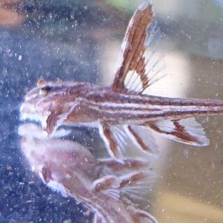リネロリカリアレッド(ランケオラータプレココリドラス)