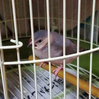 桜文鳥幼鳥(1ヶ月半)里親さん募集中