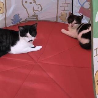 仲良し猫ちゃん2匹の里親さん募集