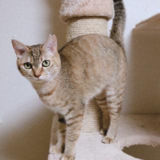 猫の里親募集 ムギワラ メス