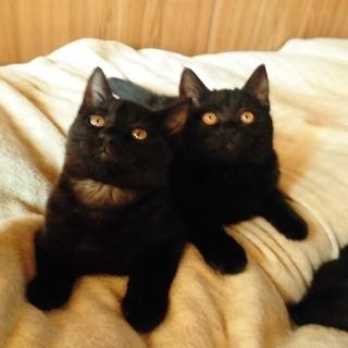 兄妹の絆★おはぎ顔とゴルゴ顔の黒猫コンビ① ぶぅ♀