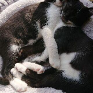 10月9日産まれ 白黒のハチワレ猫ちゃんと黒ぶちちゃん − 群馬県