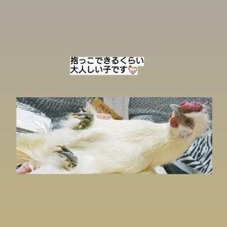 【交渉中】烏骨鶏 オス 二歳ほど