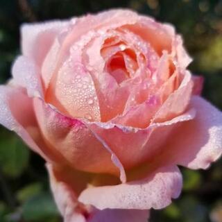 出張管理 バラ 薔薇 ローズ 造園 植木 剪定 苗 神奈川県