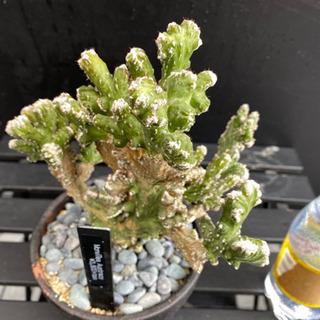 モンビレア 残雪の峰 多肉植物 サボテン